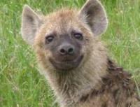 hyena's Photo